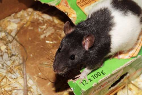 Rat Pet Cage Food Head Nose Males Black And White