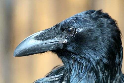 Raven Corvus Corax Young Bird Nature Living Nature