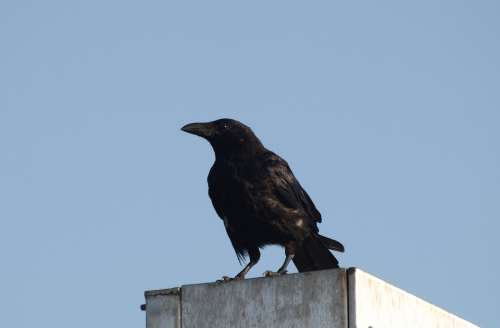 Raven Bird Black Nature Raven Bird