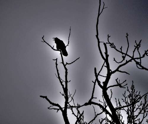 Raven Blackbird Bird Spooky Halloween Silhouette