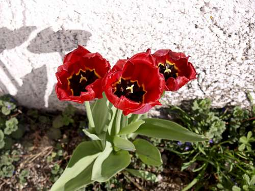 Red Tulips Flowers Plant Garden Cemetery