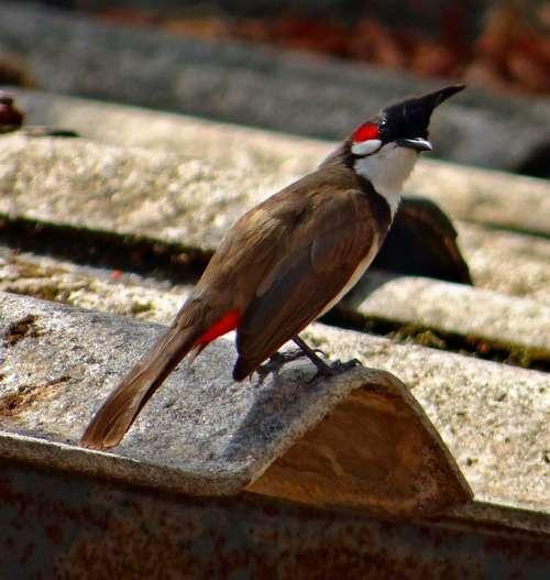 Red Whiskered Bulbul Bird Bulbuls Tropics Dharwad