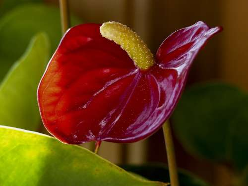 Red Calla Flower Macro Indoor Plant Nature