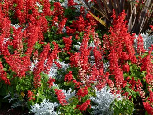 Red Celosia Flower Bed Garden Bloom Blossom
