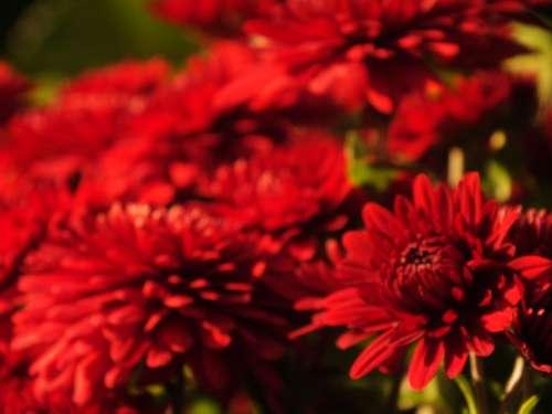 Red Flower Bright Nature Macro Garden Flowers