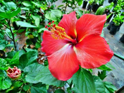 Red Color Hibiscus Rosa-Sinensis Flower Plant