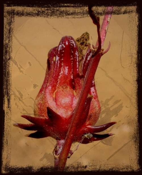 Red Flower Australia Nature Plant Framed Texture