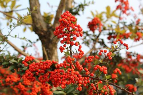 Red Berries Fruit Harvest Nutty Wood Autumn