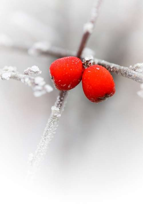 Red Berries Branch Cold Flora Freeze Frost Frosty