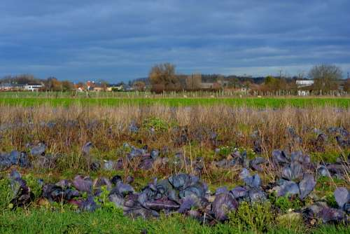 Red Cabbage Field Air Blue Sky Landscape