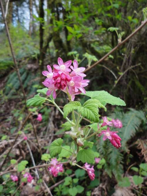 Red-Flowering Current Currant Wildflower Flower