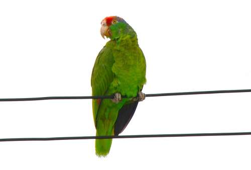 Red-Fronted Macaw Parrot Ara Rubrogenys Amazonas
