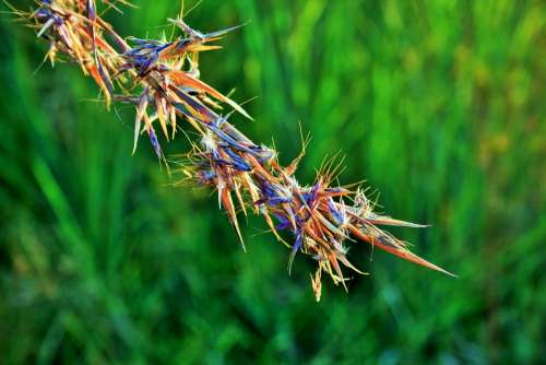 Red Grass Grass Red African Wild Indigenous Veld