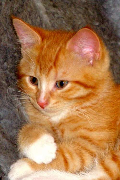 Red Kitten Domestic Animal Attaching