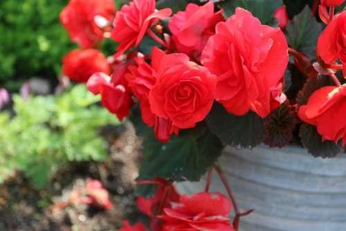 Red Kukkka Flower Garden Plant Summer