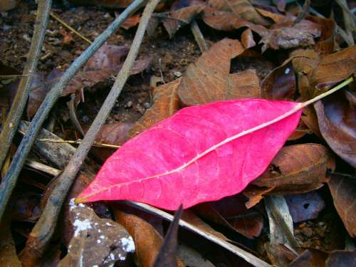 Red Leaf Leaf Autumn
