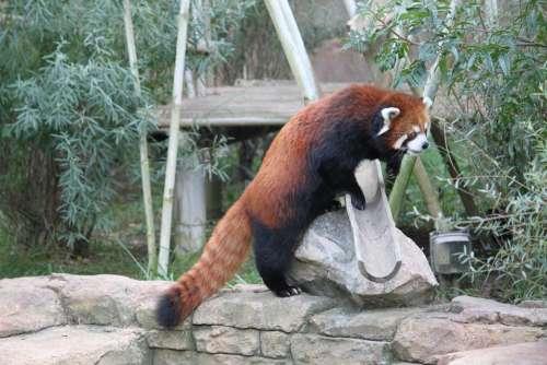 Red Panda Panda Bear Mammal Cute Animal