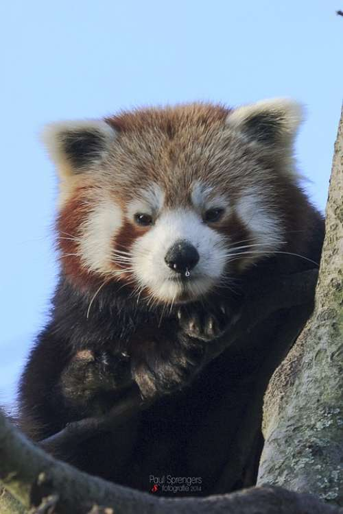 Red Panda Bear Zoo