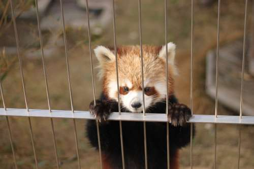 Red Panda Zoo Cute Animals