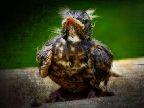 Red Robin Bird Chick Animal Nature Textured Orton