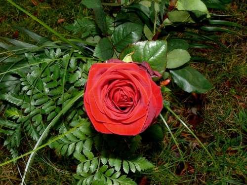 Red Rose Blossom Bloom Flower Romance Love Red