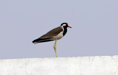 Red-Wattled Lapwing Vanellus Indicus Lapwing Plover
