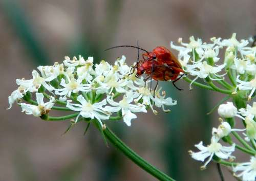Red Weichkäfer Soldier Beetle Beetle Insect Nature