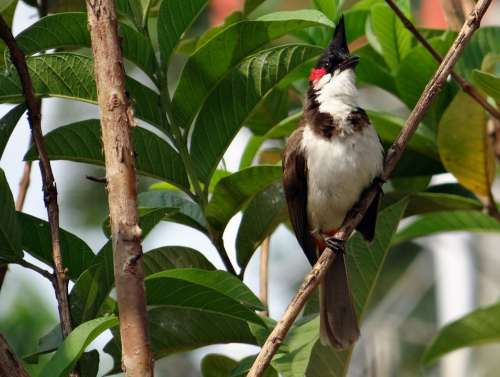 Red-Whiskered Bulbul Pycnonotus Jocosus Bulbul Bird