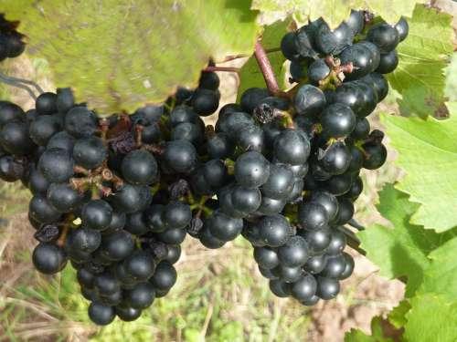 Red Wine Red Grape Vine Grapevine Grape Rebstock