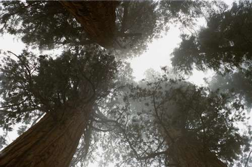 Redwoods Trees Tall Forest California Sequoia