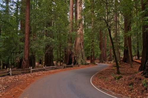 Redwoods Forest Trees Road National Park Usa