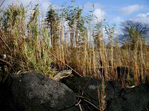 Reed Stones Plant