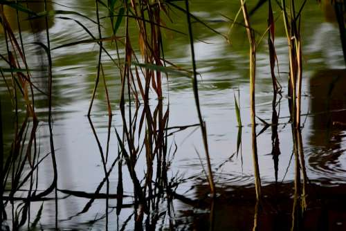 Reed Waterfront Aquatic Plant Bog Plants Nature