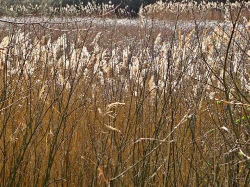 Reed Pond Spring Plants Vegetation Stalks Tangle