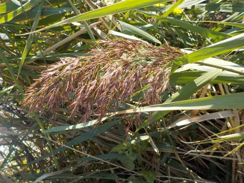 Reed Grass Water Nature Autumn Plant