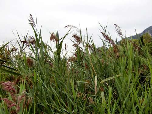 Reed Grass Green Nature