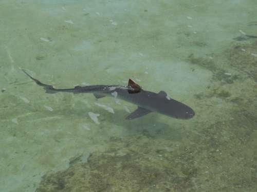 Reef Shark Shark Fish Wildlife Sea Fin