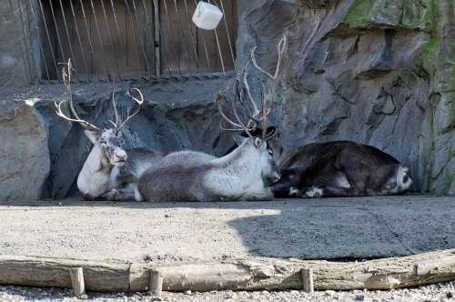 Reindeer Lying Enclosure Animal Zoo