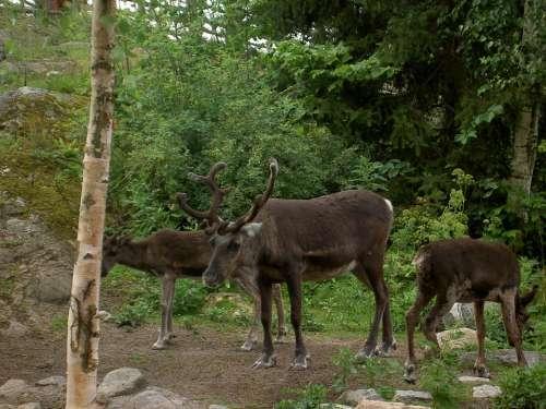 Reindeer Nature Wildlife Antlers Deer Skansen