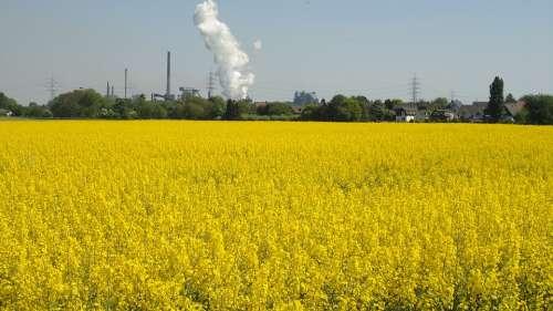 Renewable Energy Field Of Rapeseeds Oilseed Rape