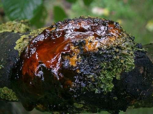 Resin Bitumen Tree Wood Bark Log Tribe Branch