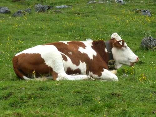 Resting Cow Animal Food Chain Mammal Meadow