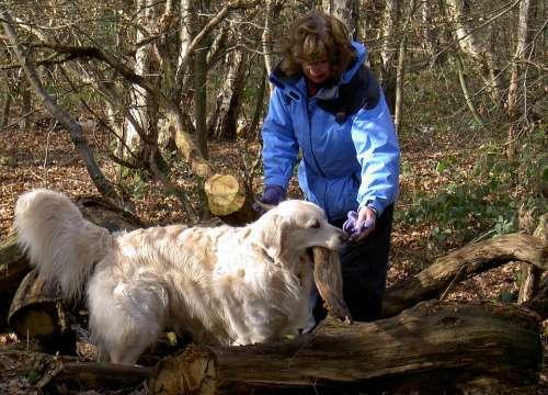 Retriever Labrador Dog Purebred Pedigree Fur