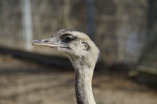 Rhea Bird Bird Flightless Bird Animal Neck Head