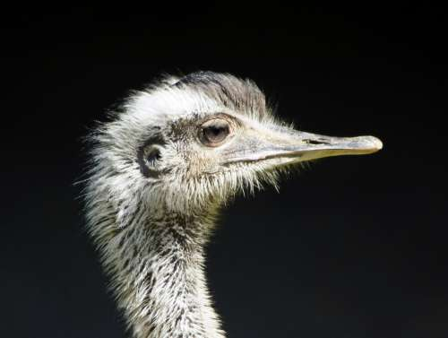 Rhea Bird Close Up Flightless Bird Ratites