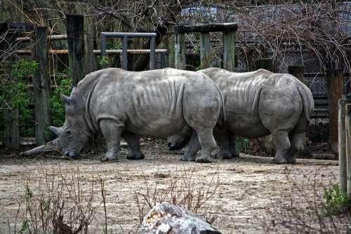 Rhino Rhinoceros Horned Horn Horns Large Beast