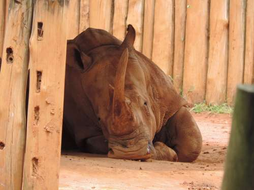 Rhino Brown Animal Horn Wild