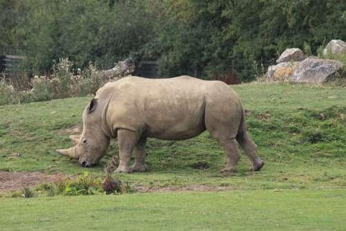 Rhino Animal Zoo Rhinoceros Africa