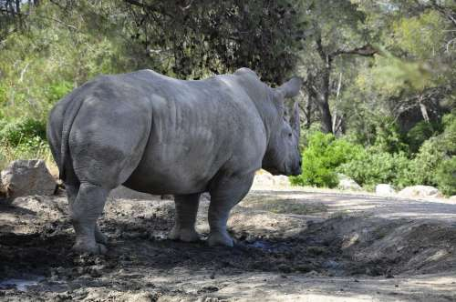 Rhino Black Rhino Big Game Mammal Zoo Africa
