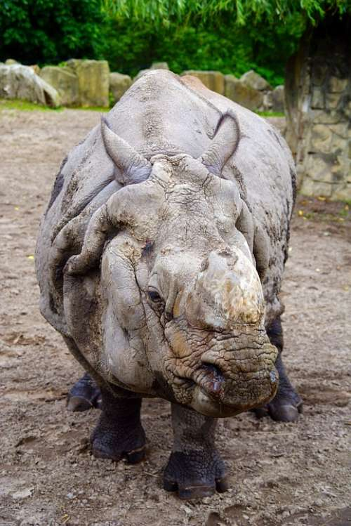 Rhino Fauna Nature Animal